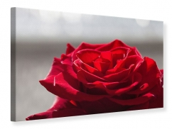 Leinwandbild Rote Rosenblüte