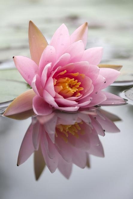 vlies fototapete lotus versandkostenfrei ab 40. Black Bedroom Furniture Sets. Home Design Ideas